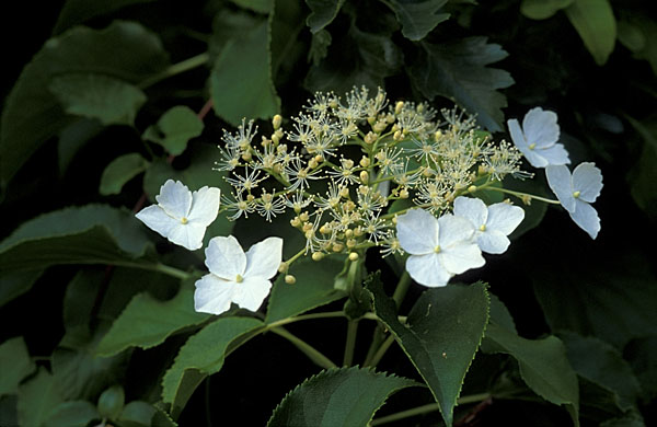 Japansk Snebolle Viburnum Plicatum Copyright Natureeyeskeld