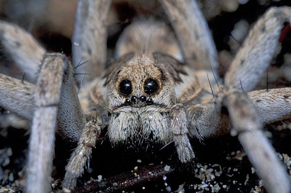 Lb00099 Tarantula Lycosa N Sp Copyright Natureeyes Lars D Bruun