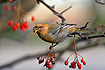 Pine Grosbeak (14-11-2004)