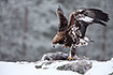 Golden Eagle at a carcass