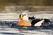 King eider male shaking of water