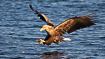 White-tailed eagle stretching out its fangs to catch a fish