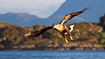 White-tailed eagle hunting in a Norwegian archipelago