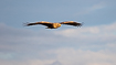 Flight image of a white-tailed eagle in warm evening light