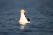 Great black-backed gull in warm evening light