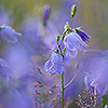 Bluebells with morning dew