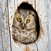 Tengmalm´s Owl looking out of the nest hole