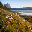 Grassland morning with flowering meadow saxifrage