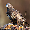 Common buzzard on a carcass