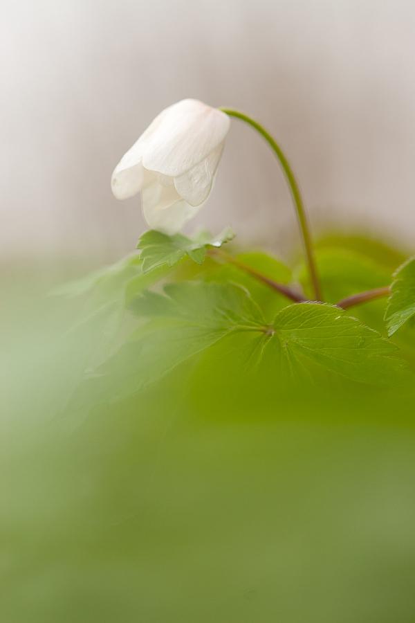 Hvid-Anemone